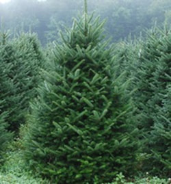 the perfect christmas tree not only is the needle retention great it also smells wonderful it has strong spaced out branches that are very easy to
